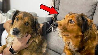 Собака увидела по телевизору то, от чего ее удивлению не было предела