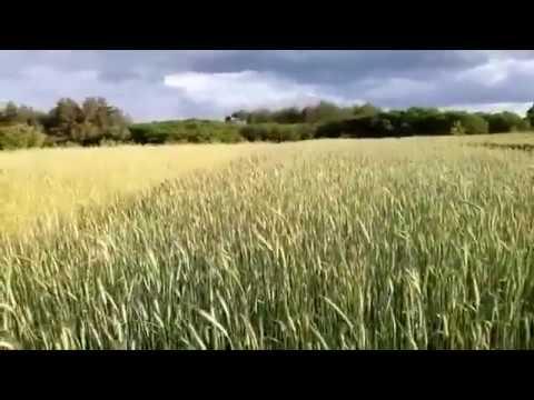 Еще о густоте посева зерновых вручную.