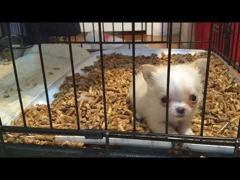 Long coat tiny boy Chihuahua puppy