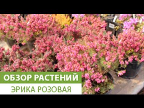 Видео Садовый кустарник с желтыми цветами название