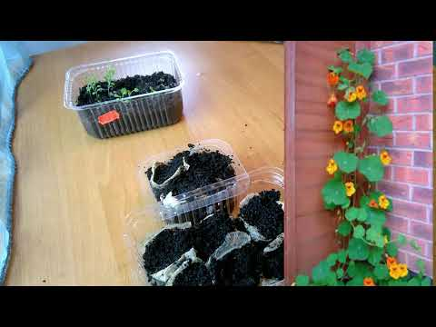 НАСТУРЦИЯ - как посеять семена, Срочная пикировка петунии. Бальзамин  после пикировки.