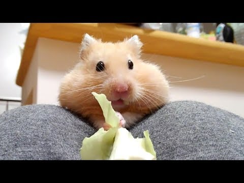 この顔で癒されてください!おもしろ可愛いハムスターPlease be healed with this face of funny hamster!