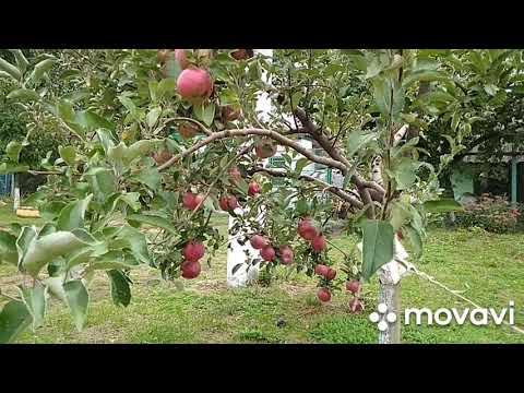 """Сбор урожая.  Красивейшего яблока, сорта """"Айдаред""""."""