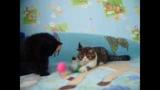 котята экзоты Киев