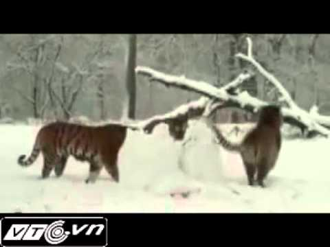 Ho an thit nguoi tuyet - tigers eat snowman