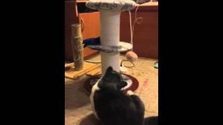 У кота Короткие Лапы. Манчкин.