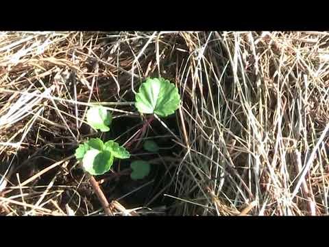 Высадка рассады земляники из семян 09.05.18 г // Секреты хороших урожаев.