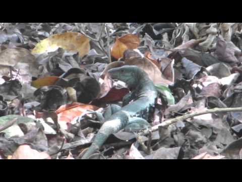 Ameiva Lizard, Dominica