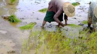 Myanmar girl from village work in the rice farm for US$1.5/day    ....mp4