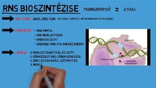 Nukleinsav anyagcsere a parazitákban - A biokémia alapjai   Digitális Tankönyvtár