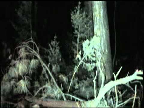 BIGFOOT RESEARCH 8 MARCH 2011 PART 2 NIGHT OPS.wmv