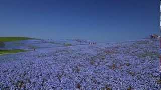 国営ひたち海浜公園ネモフィラの丘 DIYビデオクレーンTEST ネモフィラの丘 検索動画 5