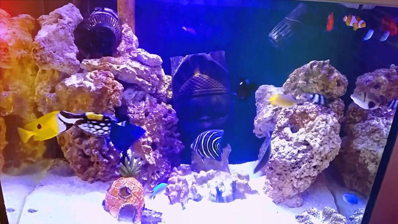 Aggressive saltwater fish always fighting youtube for Aggressive saltwater fish