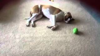 Charlie boxer dog wants attention