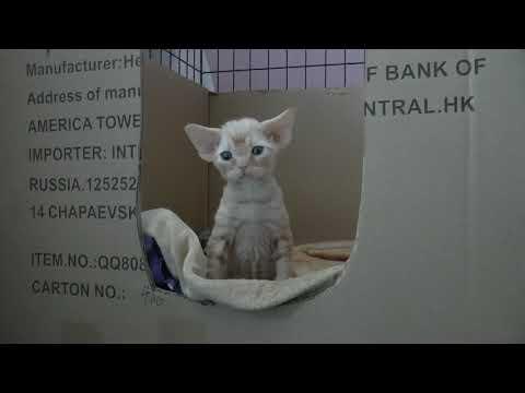 Devon Rex Kittens of Jumanji Cattery