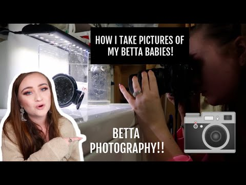 BETTA FISH PHOTOGRAPHY | HOW I TAKE PICTURES OF MY BETTA BABIES | ItsAnnaLouise