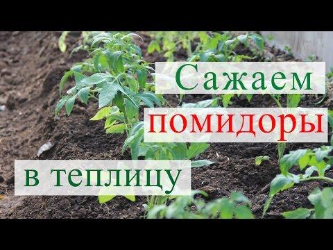 Как высадить рассаду помидор в теплицу видео