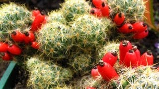 Fruiting Cacti Plants - Tasting & Growing!