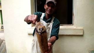 ネズミキツネザル ツィンバザザ動植物公園(マダガスカル) 120123