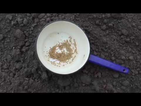 Сею безрассадные помидоры в грунт под укрытие. 29 апреля.