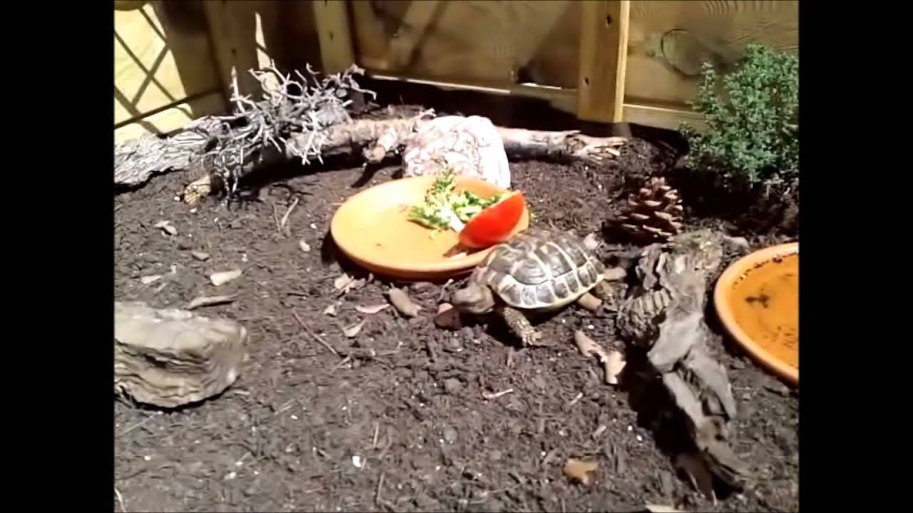 Tortuga de tierra en su tortuguera casera youtube for Tortuguero casero