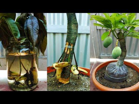 Mango grafting root