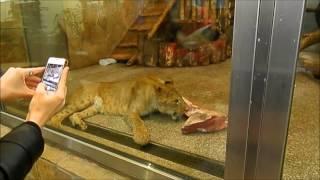 Зоопарк#2 Львы едят мясо  MilaStart смотрит как львы едят мясо