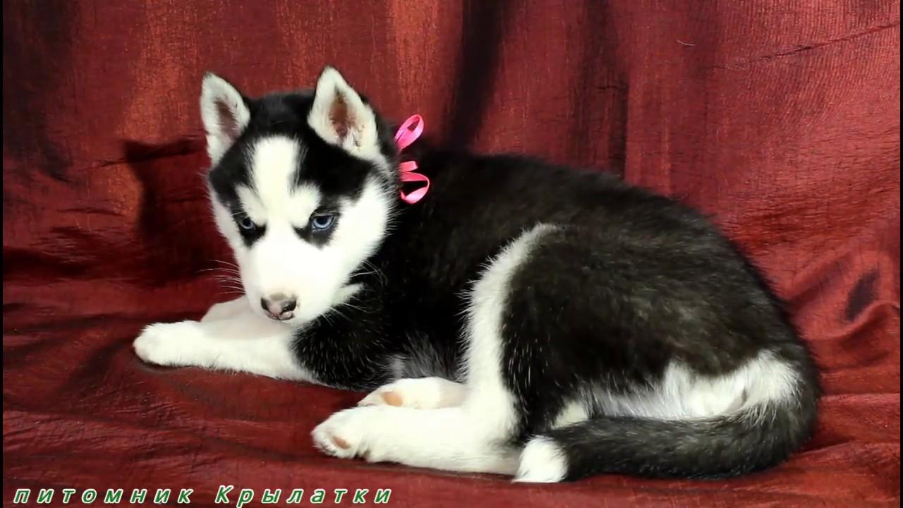 Предлагаем щенка мальчика хаски чёрно-белого, родился 14 декабря 2019 года