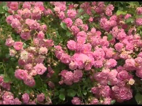 Jubilé Warstein-Saint-Pol, un rosier buisson rustique