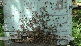 Как узнать, что семья пчел отроилась