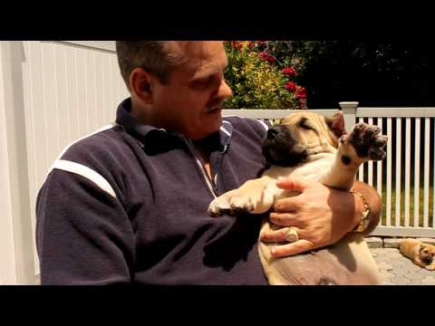 How to Pick a Presa Puppy - Sando Can & Nay-Na's 2011 puppies at 7 weeks old.