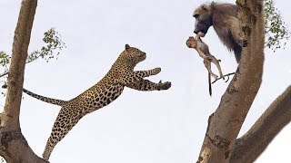 Leopard too foolish! Climb on Tree to Attack Baboon - Leopard vs Baboon Real Fight 2019