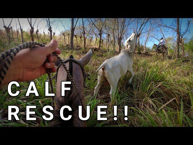 He Escaped!!! Recon and Rescue Our Calf