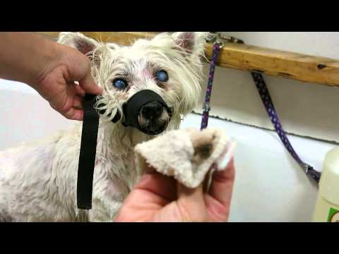 West Highland Terrier Dog Eye Cleaning Step By Step Dog Face Cleaning