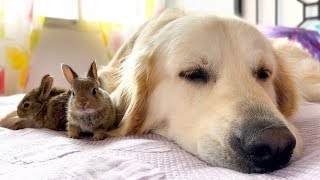 Golden Retriever and Baby Bunnies - Amazing Friendship