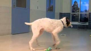 Findlay A German Wirehaired Pointer:otterhound Mix Available For Adoption At The Wisconsin Humane Society