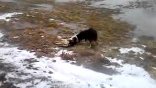 Жесть... Каннибализм Собака ест дохлую Собаку