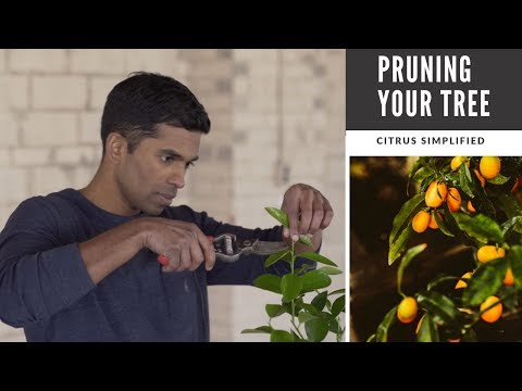 Pruning: The Secret To Beautiful Lemon, Lime, And Orange Trees In Containers