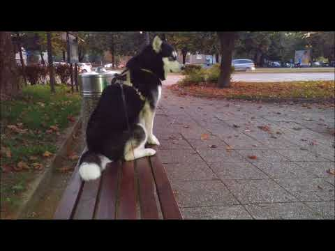 Alaskan Malamute howls at the siren and is happy to see hu-mom