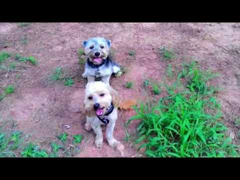 7 Year Old Yorkipoo 'Pebbles' Before/After Video | Top Georgia Dog Train
