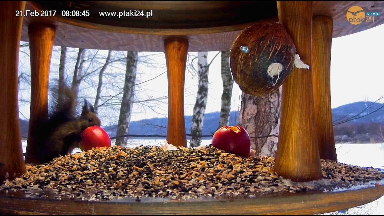 Wiewiórka zajada jabłko i