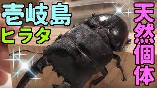 壱岐島の天然ヒラタ.