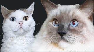 Cutest Cat Stare Compilation | Bowie the Ragdoll cat & Bella the lambkin kitten