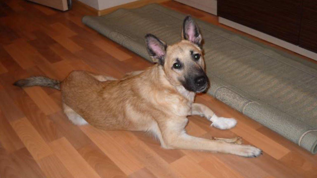 Хозяин регулярно избивал трехмесячного щенка и вот как щенок его отблагодарил