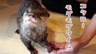 カワウソ コタロー 水遊びで疲れた後のお昼ごはん Otter Kotaro Munching Time