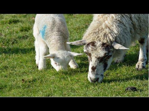 Criação de Ovinos de Corte - Desmama