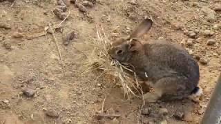 토끼(rabbit)가 새끼를 낳으려고 짚을 물고 땅속으로 들어갑니다.