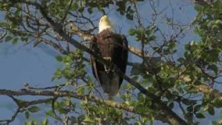Kitsap Audubon Society Slideshow for Islandwood Day w: David Sibley June 6, 2010