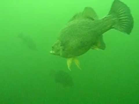 Golden Perch in Blowering Dam