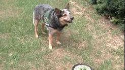 hqdefault - Australian Cattle Dog Diabetes